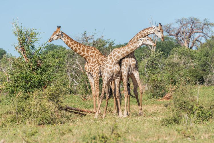Male giraffes fighting on grassy field