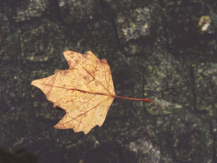 Leaf Autumn Change Dry Maple Day Maple Leaf Close-up Outdoors Nature Focus On Foreground No People Fragility Beauty In Nature