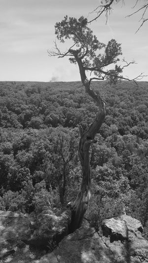 Tree Landscape Rural Scene Nature Outdoors Plant Day Hill Growth Beauty In Nature Scenics Branch No People Sky Tree Area Ha Ha Tonka State Park Black And White Black And White Photography EyeEmNewHere EyeEm Selects The Week on EyeEm – Editors Picks