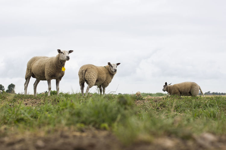 Group of sheep grazing in a dutch meadow at summertime