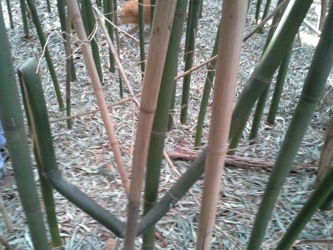 Bamboo Trees Sunlight Twisted Irregular