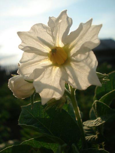 Macrophotography Macro Nature Macro макро фото цветыкартошки КартошкаПоДеревенски картошка Potato