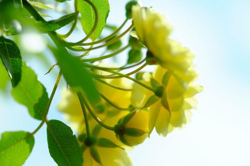 Lemon Lime By Motorola Banksiarose Flowers Flowerporn Fujifilm_xseries Xf60 Macro Velvia The Purist (no Edit, No Filter)