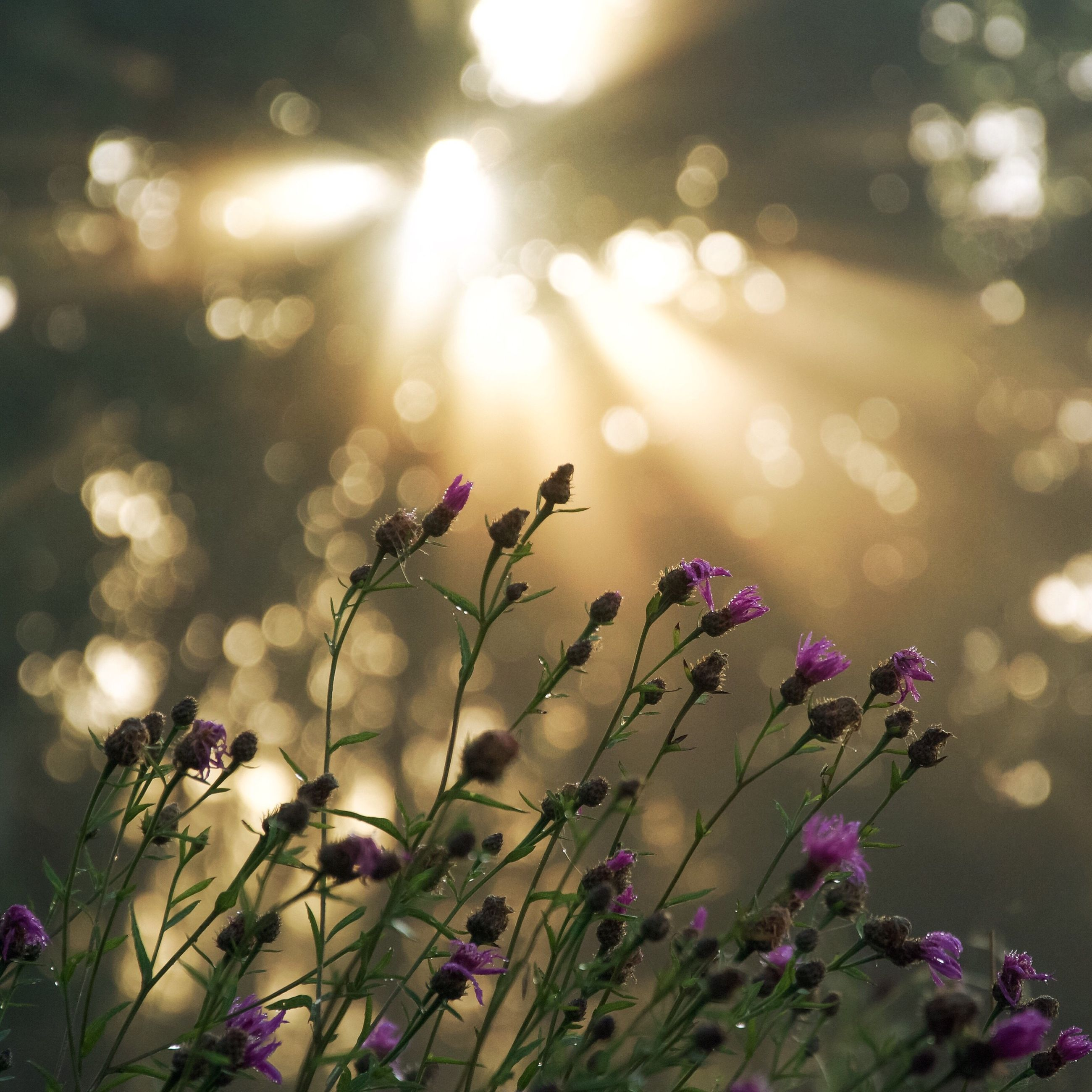 growth, flower, focus on foreground, plant, beauty in nature, freshness, lens flare, close-up, nature, fragility, sun, stem, outdoors, selective focus, no people, pink color, illuminated, tranquility, sunbeam, growing, twig, blooming, sky, petal, in bloom, defocused, botany, glowing, bright