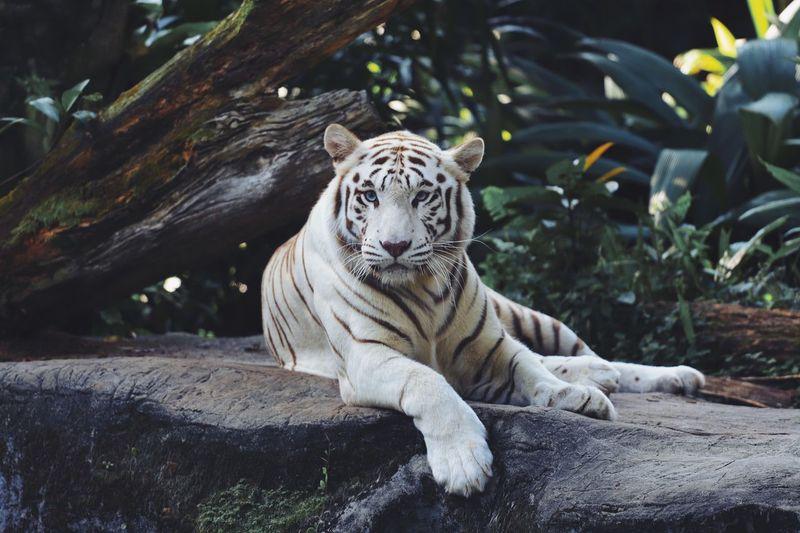 View of a tiger at zoo