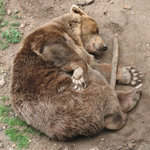 Bear Ursus Zoo Animal Animal Themes Brown Day Eyes Closed  High Angle View Lying Down Mammal Napping No People Relaxation Resting Sleeping Vertebrate Zoology