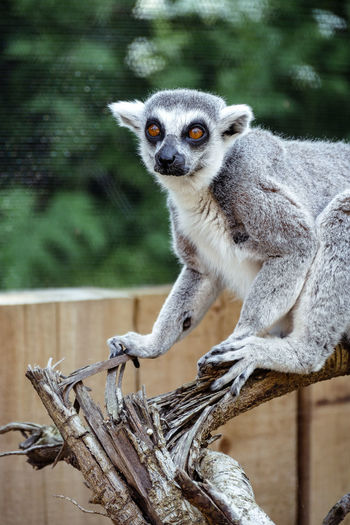 Portrait of lemur on log at london zoo