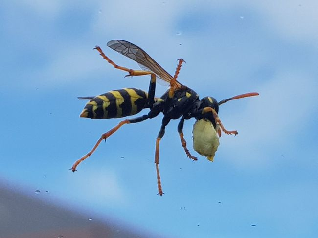 """""""wasp"""" S8Photography Wasp Wespe Blue Sky First Eyeem Photo"""