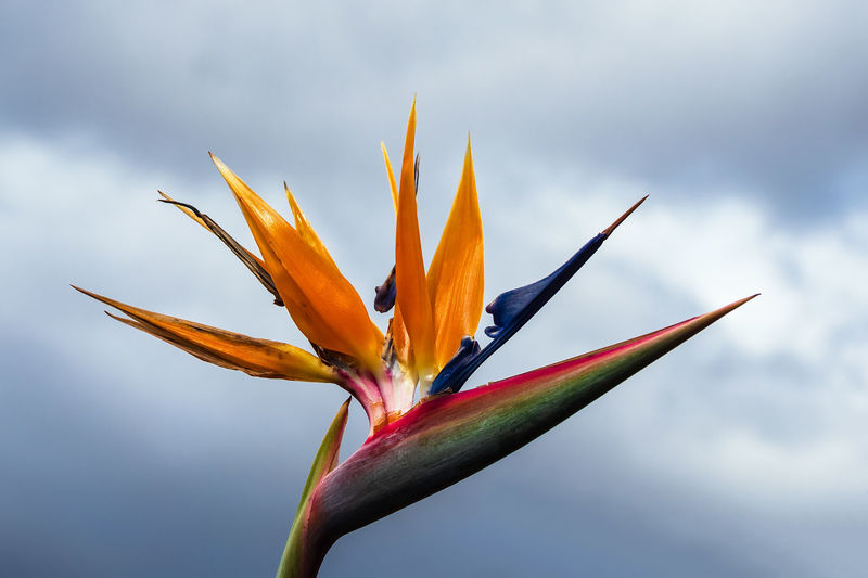 Bird of paradise flower in Funchal on the island Madeira, Portugal. Funchal Madeira Portugal Europe Island Travel Destinations Travel Vacation Relaxing Tourism Beauty In Nature Flowering Plant Bird Of Paradise - Plant Fragility Plant Flower Vulnerability  Cloud - Sky Freshness Growth Sky Close-up Nature Petal Inflorescence Day Flower Head No People Focus On Foreground Sepal Blooming Strelitzia Reginae