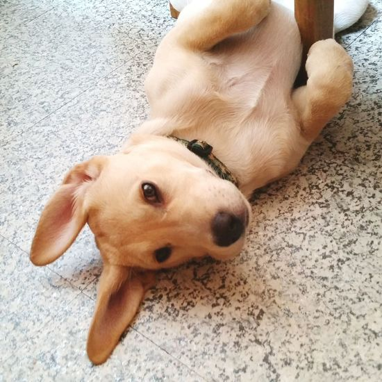 EyeEm Selects Dog Pets Domestic Animals Lying Down High Angle View One Animal Animal Themes Mammal Portrait Looking At Camera No People Puppy Looking At Camera Sam Hunde Liebe ♡ Pet Leash Labrador Retriever Young Animal LabradorLove Indoors  Tired Indoors  Day Close-up