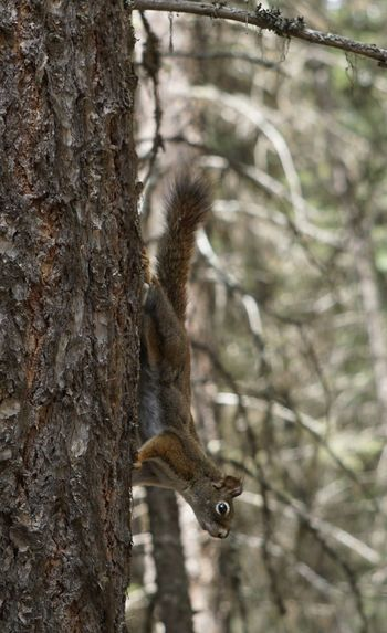 Montana Red Squirrel Close Up Red Squirrel Tree Animal Themes Animals In The Wild One Animal Animal Mammal Animal Wildlife Tree Animal Themes Animals In The Wild One Animal Animal Mammal Animal Wildlife Tree Trunk Nature No People Focus On Foreground Squirrel Outdoors Climbing