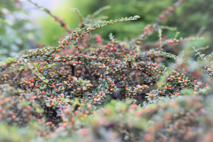 Berries Beauty In Nature Close-up Colorful Day Flora Flower Freshness Fruit Garden Groundcover Grove Growth Leaf Nature No People Ornamental Woody Plants Outdoors Pastel Pastel Colors Plant Reed Berries Selective Focus