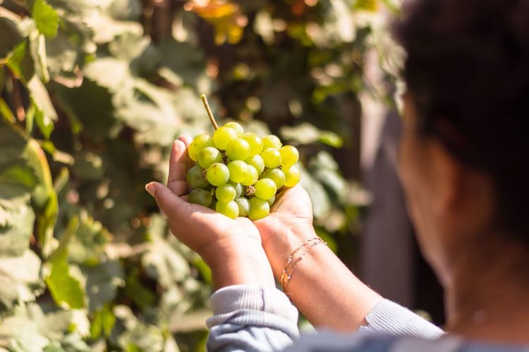 Cropped Image Of Woman Holding Grapes At Vineyard