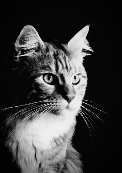 Domestic Cat Pets Feline Domestic Animals Animal Themes Whisker Black Background Animal Portrait EyeEmNewHere Noir Et Blanc Noir Et Blanc Photographie Black And White Photography Blackandwhite Mainecoonlovers Maine Coon Cat Maine Coon Hobbyphotography Hobby Hobby Photography Katze Pet Portraits