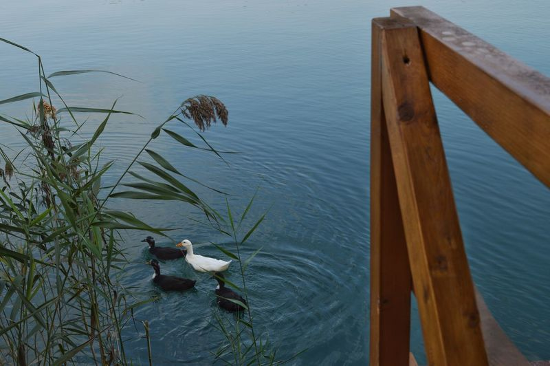 Young Bird Moor  White Duck Orange Beak Riverside EyeEm Selects Bird Water Swimming High Angle View Duck Swimming Animal Water Bird Chick Duckling Floating On Water