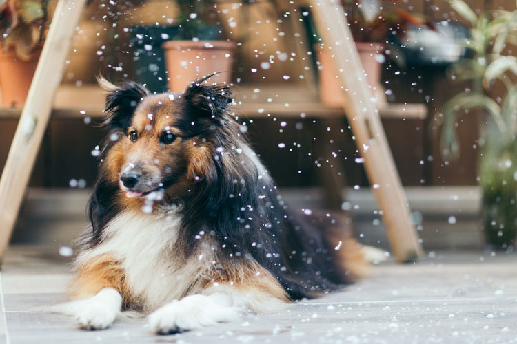 Animal Themes Close-up Cold Temperature Day Dog Domestic Animals Garden Mammal Motion Nature No People One Animal Outdoors Pets Sheltie Shetland Shetland Sheepdog Snow Snowing Water Weather Wet Winter