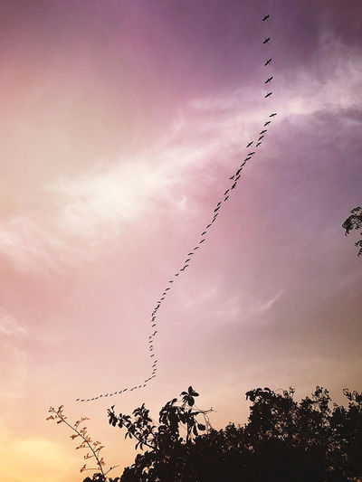 Animal Themes Animals In The Wild Beauty In Nature Bird Cloud - Sky Day Flock Of Birds Flying Large Group Of Animals Low Angle View Nature No People Outdoors Silhouette Sky Sunset Tree