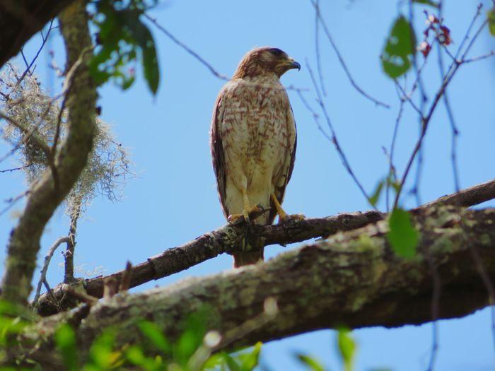 Wild hawk in nature...🦅! Hawk Hawks Hawks Of Eyeem Florida Bird Of Prey Bird Perching Tree Branch Blue Sky Hawk - Bird Tropical Bird