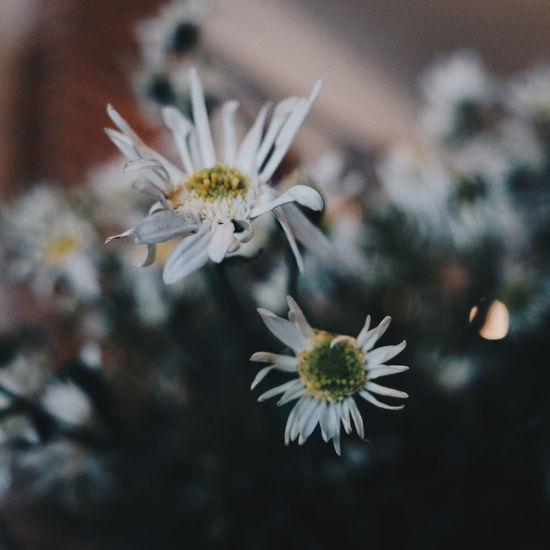 My daisy Daisy