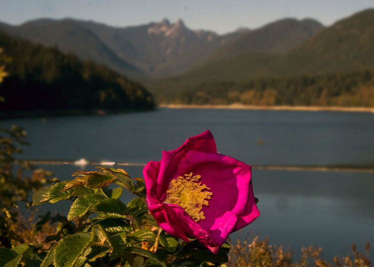 Close-Up Of Pink Flowering Plant By Lake