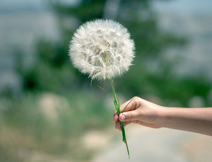 Scorzonera Papposa Holding EyeEm Team Eye4photography  Nature Human Hand Flower Young Women Flower Head Holding Dandelion Close-up Plant Dandelion Seed Lightweight Wildflower Feather  In Bloom Growing Poppy Blossom Visual Creativity The Still Life Photographer - 2018 EyeEm Awards