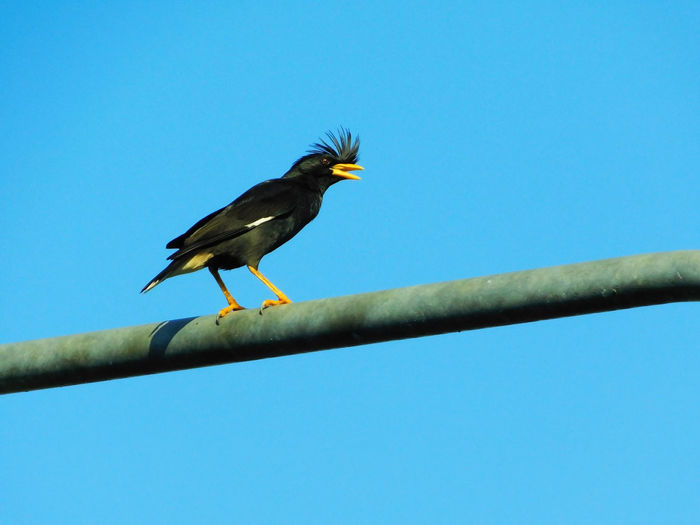 White-vented Myna live in Thai rural Animal Themes Animal Wildlife Animals In The Wild Bird Blue Clear Sky Close-up Day Low Angle View Nature No People One Animal Outdoors Perching Thailand White-vented Myna