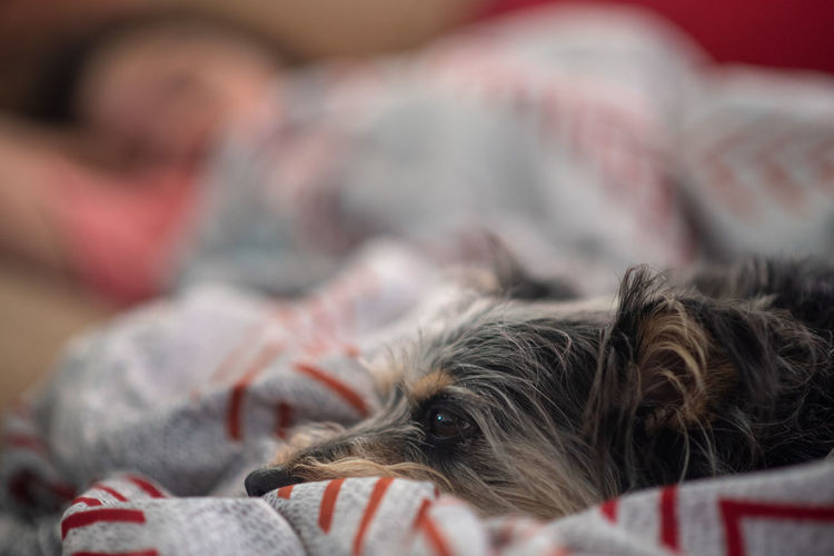 Nap time Mammal Animal Themes Domestic Animals Domestic Canine Dog Pets One Animal Animal Furniture Lying Down Relaxation Bed Indoors  Domestic Room Selective Focus Domestic Life Yorkshire Terrier Sleeping Bedroom Cozy Pet Owner Small