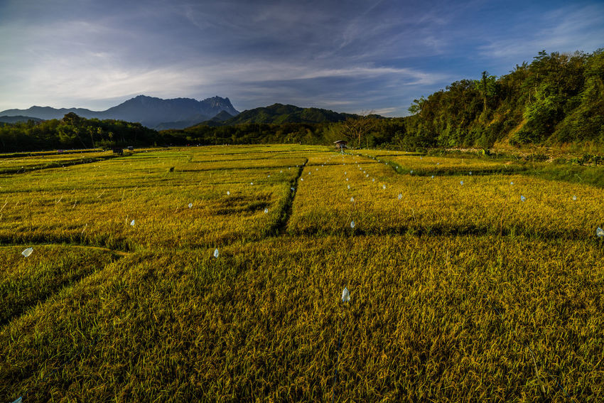 A majestic scenery of golden paddy field with background mountain of Kinabalu located at Kota Belud, Sabah ASIA Borneo Kota Belud Landscape_Collection Agriculture Beauty In Nature Day Field Kinabalu Park Landscape Mountain Nature No People Outdoors Rural Scene Sabah Scenics Sky Tourism Tranquil Scene Tranquility
