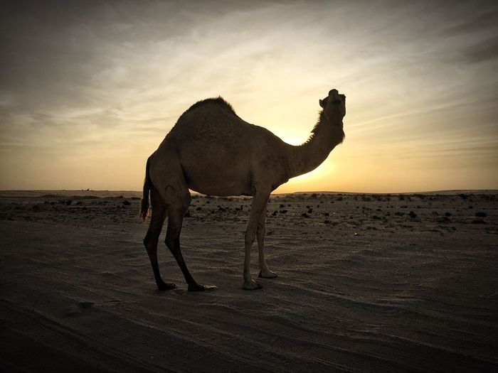 Camel Desert Sunset Qatar Middle East Scenics No People