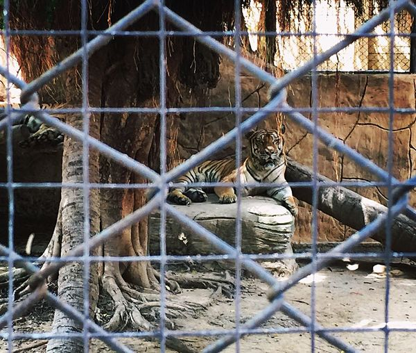 Animal Zoo Tiger Fence Boundary Barrier Day Security Metal Safety