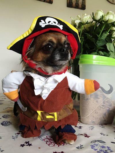 Pirate Dog Costume Chihuahua Love ♥ Chihuahualonghair Dog Chihuahuas<3 My Pet EyeEm Pets Pet Portrait Fancy Dress My Favorite Photo My Year My View Dog Costumes Pet Portraits