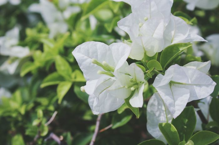 white Bougainvillea flower. Flower Leaf Close-up Nature Plant Petal Beauty In Nature No People Growth Green Color Freshness Flower Head Day Outdoors Fragility