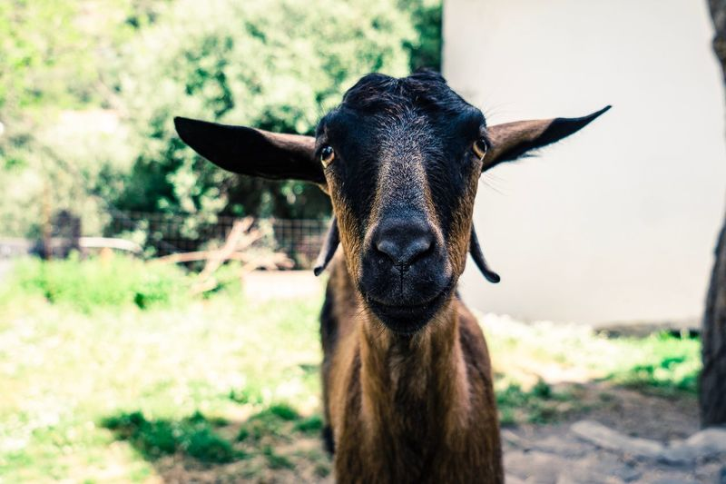 Goat Nature Goat Animal Themes Animal One Animal Vertebrate Mammal Focus On Foreground My Best Photo Domestic Animals Portrait Looking At Camera Pets Animal Wildlife Livestock Domestic No People Day Field Close-up Animal Body Part Nature Herbivorous