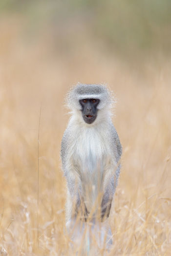 Portrait of meerkat on field