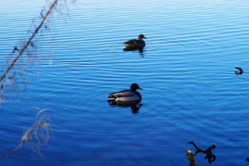 wild life EyeEmNewHere Eye4photography  Eyemphotography EyeEm Selects Bird Animals In The Wild Duck Water Lake Swimming Animal Themes Animal Wildlife Water Bird Nature Outdoors Day No People