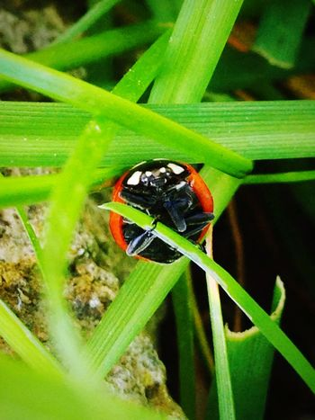 Beautiful ladybird Animals Animal Insects  Insect Ladybird Coccinelle Nature Nature_collection Garden Flowers