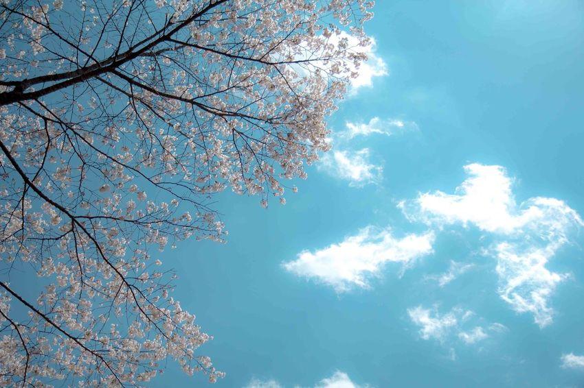 Cherryblossomes Flower Sky