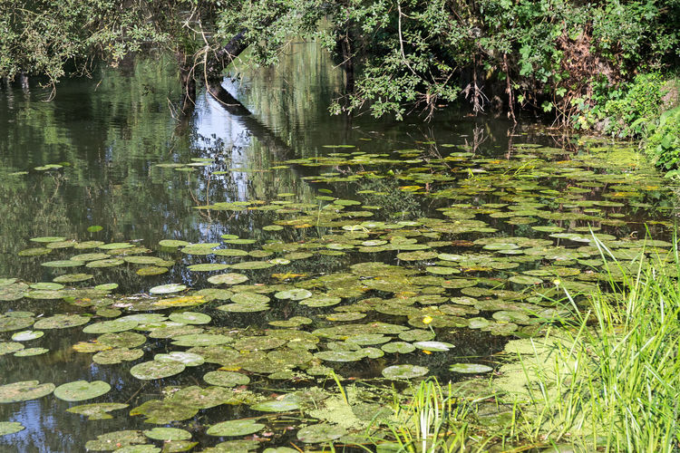 Nénuphars Beauty In Nature Day Floating On Water Growth Leaf Nature Nenuphar No People Outdoors Plant Reflection Standing Water Tranquility Water Water Lily