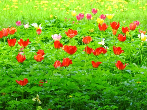Tulips🌷 Red Flowers Green & Red Green Grass Nature Greenyatmosphere Park The Great Outdoors - 2017 EyeEm Awards My City View My City My Love Summertime Sunny Day 🌞 Summer Flowers Colors Of Sankt-Peterburg Sankt-Petersburg Russia Place Of Heart EyeEmNewHere