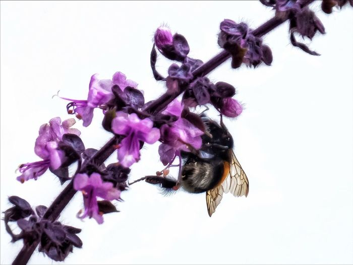 Close-up of bumblebee on purple flowering plant against sky