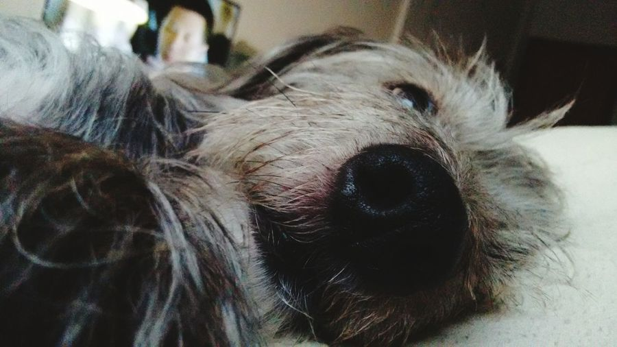 Dog Puppy Grey Eyes Love Cachorro Brazil