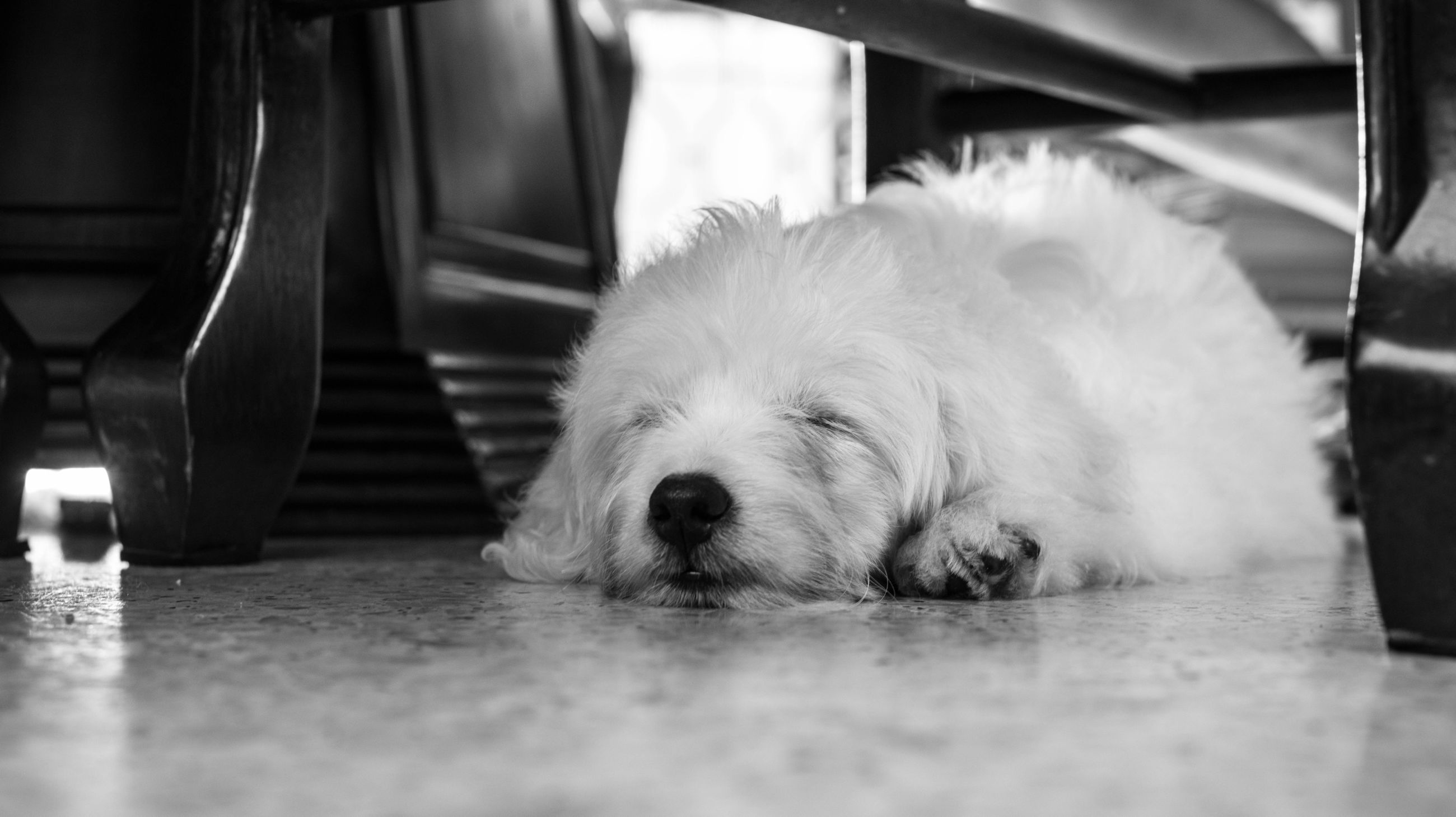 domestic animals, pets, animal themes, dog, indoors, one animal, mammal, relaxation, resting, animal head, close-up, selective focus, sleeping, lying down, focus on foreground, white color, animal body part, home interior, no people, comfortable