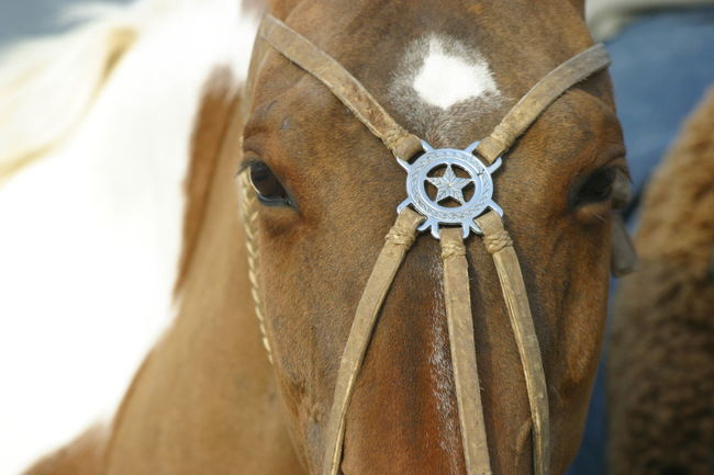 Bridle CriolloStyle Crioulo Animal Animal Body Part Animal Eye Animal Head  Animal Themes Bridle Brown Close-up Colored Horse Criollo Domestic Animals Equine Headgear Horse Horse Breeds No People One Animal Pattern South American Southamerican Traditional Traditional Bridle