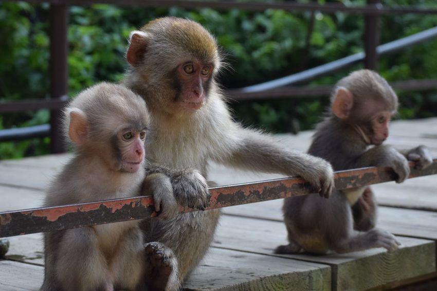Monkey Snow Monkey Animal Wildlife Animal Nature Primate EyeEmNewHere EyeEmNewHere