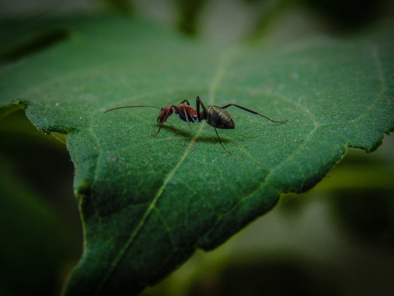 one animal, leaf, animal themes, green color, insect, animals in the wild, close-up, no people, outdoors, nature, day, animal wildlife, full length