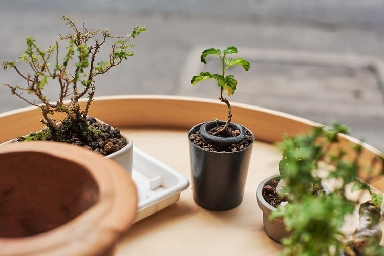 Bonsai Tree Potted Plant Plant Growth No People Table Nature Close-up Food And Drink Freshness Indoors  Selective Focus Food Herb Beauty In Nature Leaf Plant Part Green Color Day Terracotta Flower Pot Houseplant Gardening