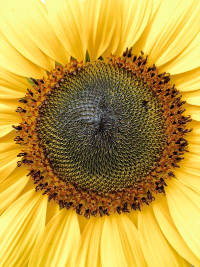 Close up of blooming yellow sunflower Flower Petal Fragility Sunflower Flower Head Nature Beauty In Nature Yellow Freshness Pollen Close-up Growth No People Plant Seed Stamen Backgrounds Studio Shot Black-eyed Susan Blooming