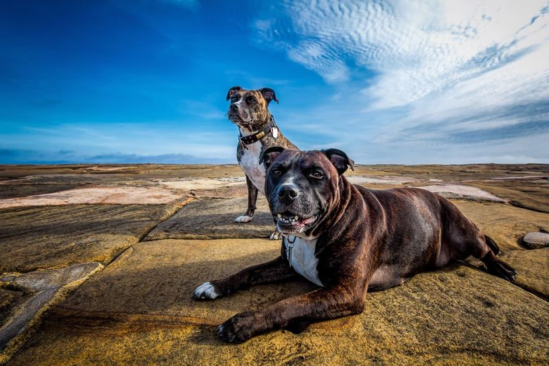 Two boxer dogs against sky