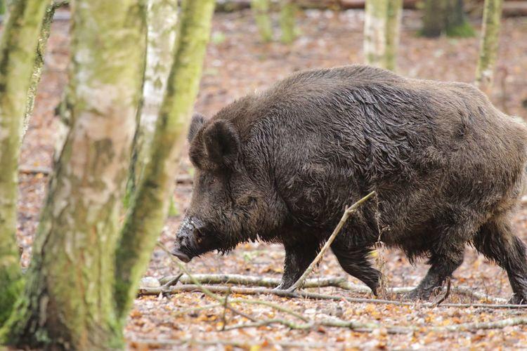 Animal Themes One Animal Animals In The Wild Nature Animal Wildlife Mammal Day Outdoors No People Bird American Bison Domestic Animals Wildschwein Schwein Wild Boar Wild Boars