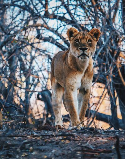 Portrait of lioness in forest
